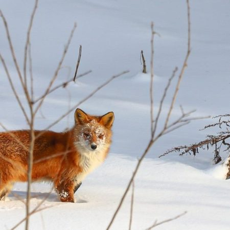Fox in Naganuma