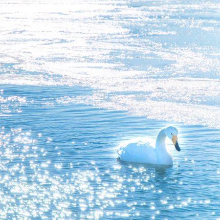 網走市の優雅な白鳥