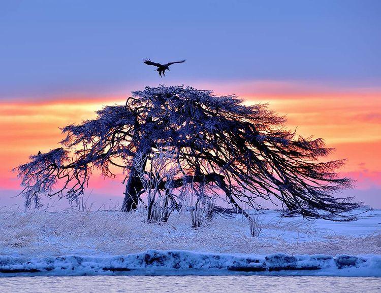 別海町のオジロワシと木