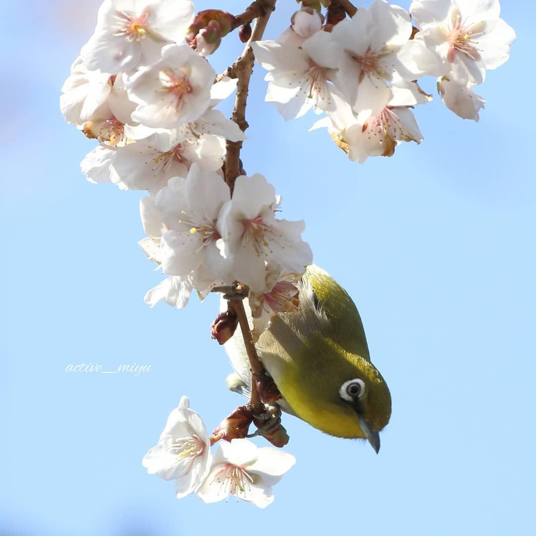 桜とメジロ(松前町)