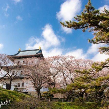 松前城と桜(松前町)