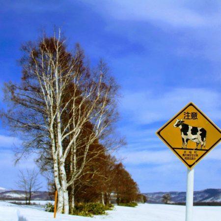 牛横断注意(京極町)