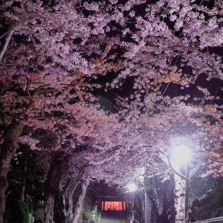 満開の夜桜(函館市)
