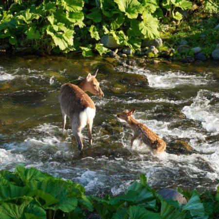 川を渡る鹿の親子(斜里町)