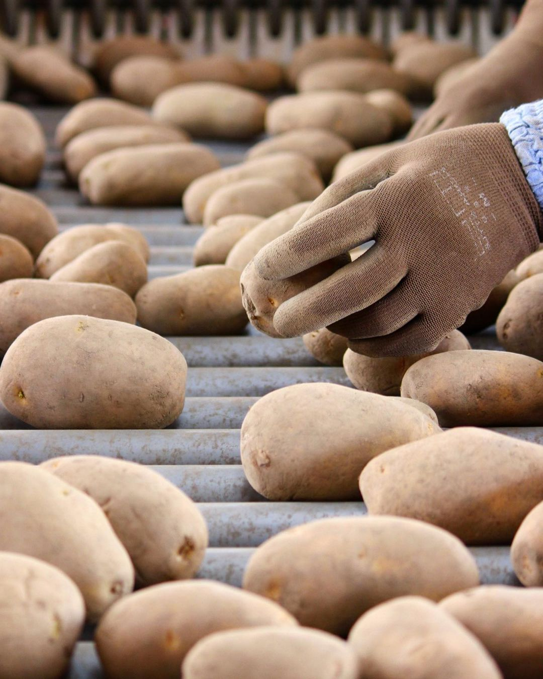 Potato sorting work (Taiki)
