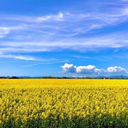 Field of rape blossoms and blue sky (Iwamizawa)