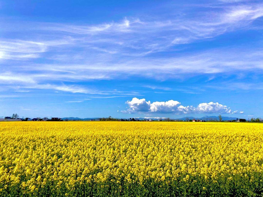 菜の花畑と青い空(岩見沢市)