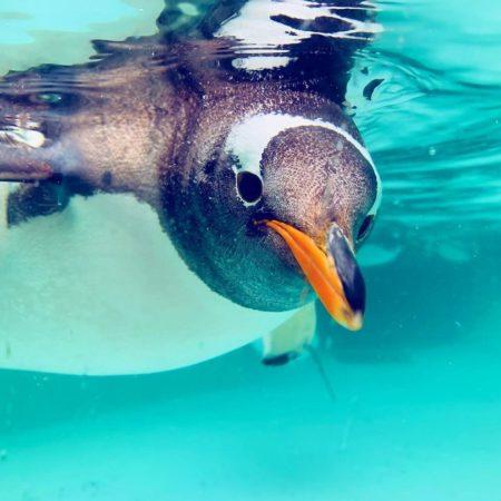 おたる水族館のペンギン(小樽市)