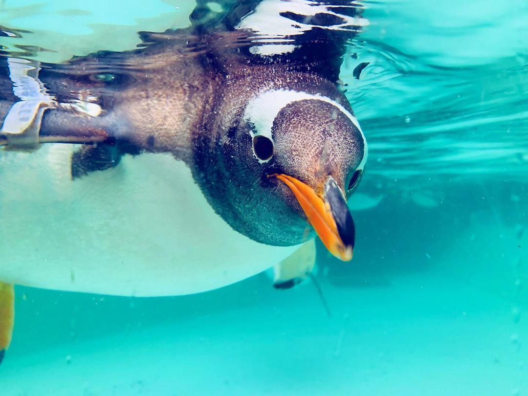 A penguin in Otaru Aquarium (Otaru)