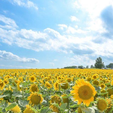 "Blue sky and ""Sunflower village"" (Hokuryu)"