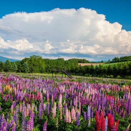 大きな雲と色鮮やかなルピナス(上富良野町)