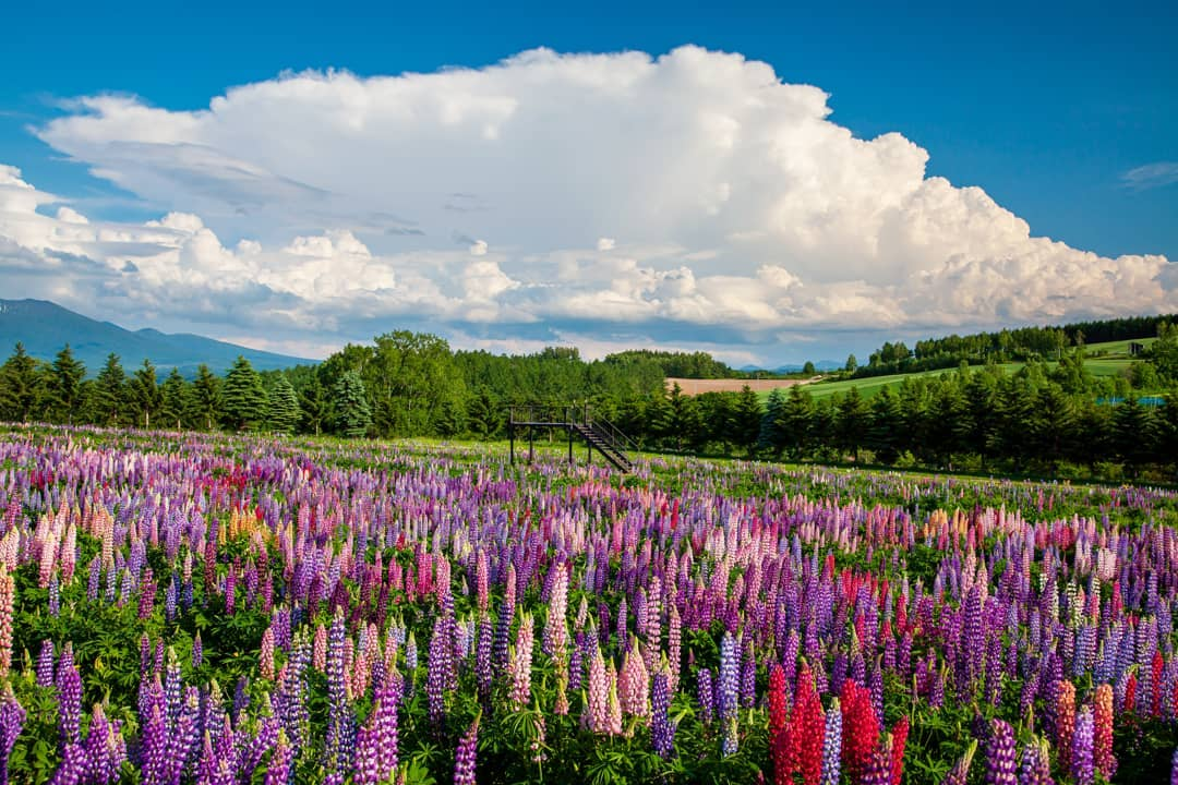 Large clouds and colorful lupines (Kamifurano)