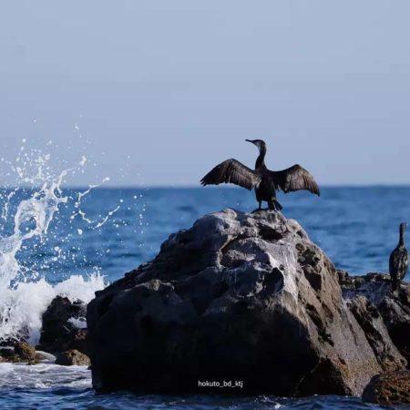 A bird spreading its wings on a rock (Otaru)